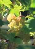 apremont-grape-695