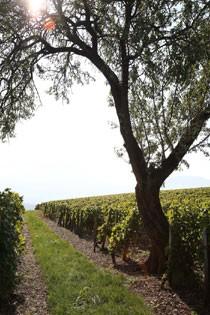 Cepage Chardonnay Jean Perrier