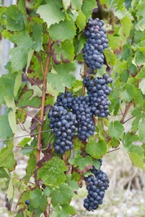 cepage-gamay-511-552