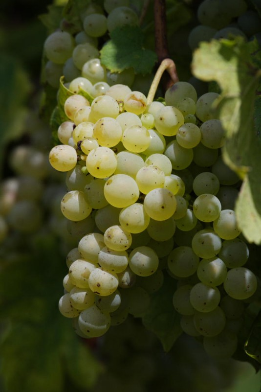 Jacquère grape variety